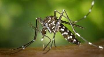 O mosquito da dengue não voa mais que 1,20m. Fonte: pixabay.com