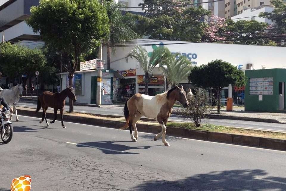 Cavalos passeiam pela avenida Mário Werneck e atrapalham o trânsito. Foto: Victória Trigueiro