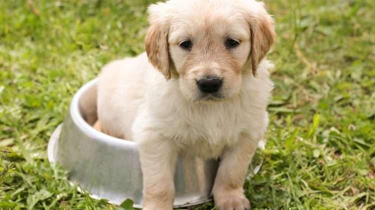 Pequeno cão - Foto: Pixabay